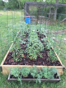 planting tomatoes, planting dill, dill weed, spring gardens